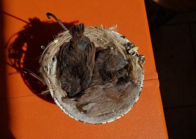pierino bernasconi nidiata canarini